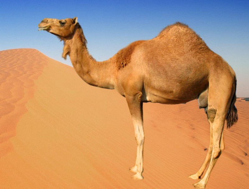 A female camel is pregnant for 13 months.- Superior Facts