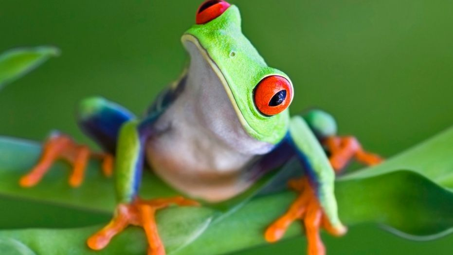 Frogs have far less bones than any other vertebrates.